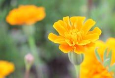 Ringelblume auf dem Gebiet lizenzfreie stockfotos
