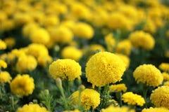 Ringelblume auf dem Gebiet stockfotos