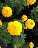 Ringelblume auf natürlichem Hintergrund Lizenzfreies Stockfoto