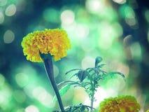 Ringelblume blüht Blüte und Knospen mit Morgenlicht und bokeh Hintergrund Abbildung der roten Lilie Lizenzfreies Stockfoto