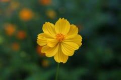 Ringelblume (Calendula officinalis) Lizenzfreies Stockbild