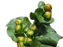 Ringelblume (Caltha palustris) zählte Knospen und bereitet vor, um zu blühen Stockbilder