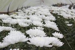 Ringelblume, die Plan am königlichen pflanzt Stockfotos