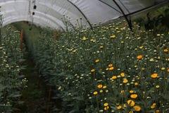 Ringelblume, die Plan am königlichen pflanzt Stockbild