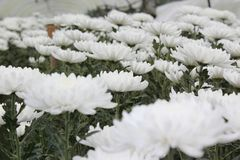 Ringelblume, die Plan am königlichen pflanzt Lizenzfreie Stockfotos