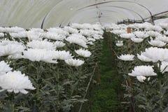 Ringelblume, die Plan am königlichen pflanzt Lizenzfreies Stockfoto
