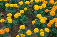 Ringelblume im Garten Stockbilder