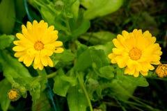 Ringelblume im Garten Stockfotos