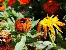 Ringelblumeblume mit Wassertropfen stockfotografie