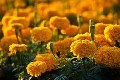Ringelblumeblumen Stockfoto