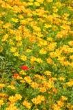 Ringelblumeblumen Stockbild