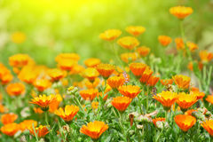 Ringelblumeblumen Lizenzfreies Stockfoto