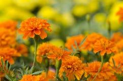 Ringelblumeblumen im Blumenbett Lizenzfreie Stockfotografie