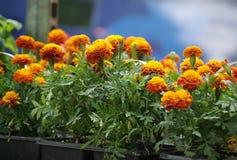 Ringelblumen Lizenzfreies Stockfoto