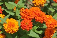 Ringelblumen-Blume Lizenzfreie Stockbilder