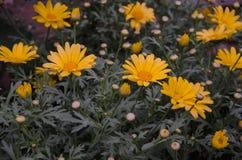 Ringelblumen-Blumen lizenzfreie stockbilder