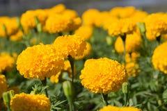 Ringelblumen im Garten Lizenzfreie Stockfotos