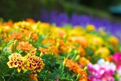 Ringelblumen mit bunten Blumen Lizenzfreie Stockfotografie