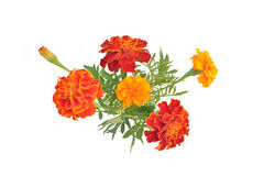 Ringelblumen mit den Knospen und den Blättern (lateinischer Name: Tagetes) Stockfotografie
