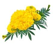 Ringelblumen- oder Calendulablume mit grünem Blatt Stockbild