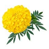 Ringelblumen- oder Calendulablumenisolat auf weißem Hintergrund Lizenzfreie Stockbilder