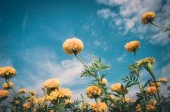 Ringelblumen oder Tagetes-erecta Blumenweinlese Stockfotos