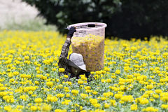 Ringelblumen-Sammlung Stockfoto