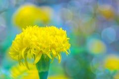 Ringelblumen, Tagetes, Tagetes e Lizenzfreies Stockbild