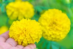 Ringelblumen, Tagetes, Tagetes-erectaÂ, Asteraceae, Blume mit dem grünen Kopienraumhintergrund Lizenzfreies Stockfoto