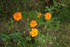Ringelblumen (Tagetes-erecta, mexikanische Ringelblume, aztekische Ringelblume, afrikanische Ringelblume) Lizenzfreies Stockbild