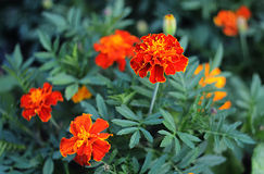 Ringelblumen Tagetes-erecta, mexikanische Ringelblume, aztekische Ringelblume, afrikanische Ringelblume Lizenzfreies Stockbild