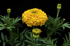 Ringelblumen u. x28; Lateinischer Name: Tagetes& x29; von der gelben Farbe Lizenzfreies Stockfoto