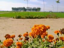 Ringelblumen vor Weizenfeldern stockfoto