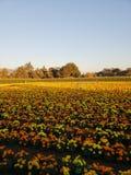 Ringelblumenanlagen lizenzfreie stockfotografie