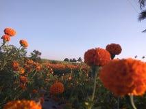 Ringelblumenbauernhof Stockbilder