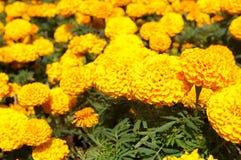 Ringelblumenblume Lizenzfreies Stockbild