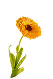Ringelblumenblume Lizenzfreies Stockfoto