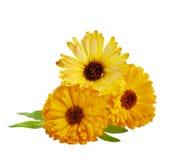 Ringelblumenblume Stockbild