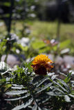 Ringelblumenblume auf dem Sommerblumenbeet Stockbild