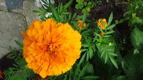 Ringelblumenblume, Mischung von Orangen und Gelbs stockfoto