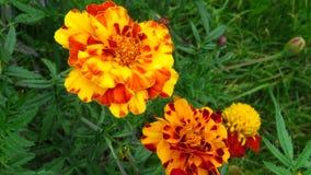 Ringelblumenblume, Mischung von Orangen und Gelbs stockfotografie