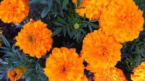 Ringelblumenblume, Mischung von Orangen und Gelbs stockfotos