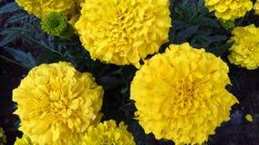Ringelblumenblume, Mischung von Orangen und Gelbs lizenzfreie stockbilder