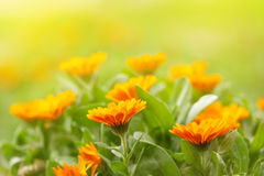 Ringelblumenblumen lizenzfreies stockfoto