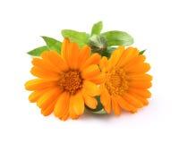 Ringelblumenblumen Lizenzfreie Stockbilder