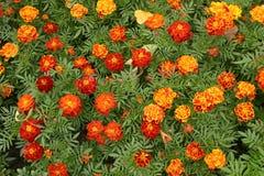 Ringelblumenblumen Stockfotografie