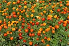Ringelblumenblumen Lizenzfreie Stockfotografie