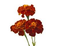 Ringelblumenblumen getrennt stockbilder