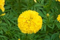 Ringelblumenblumen im Garten Stockbild