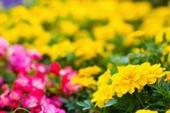Ringelblumenblumen mit Begonie semperflorens Lizenzfreies Stockbild